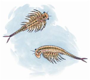 Critter Spotlight: Fairy Shrimp: Anostraca