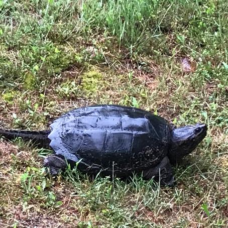 CRITTER SPOTLIGHT: Common Snapping Turtle (Chelydra serpentina)