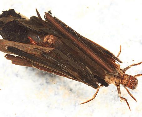 CRITTER SPOTLIGHT: Caddisflies: Trichoptera