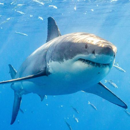 CRITTER SPOTLIGHT: Great White Shark: Carcharodon carcharias