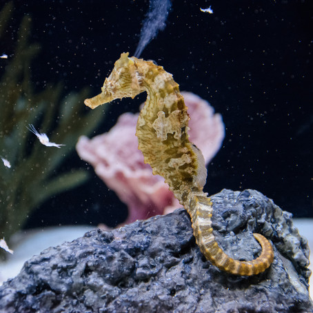 CRITTER SPOTLIGHT: Lined Seahorse (Hippocampus erectus)