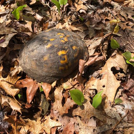 CRITTER SPOTLIGHT: Eastern Box Turtle (Terrapene carolina carolina)