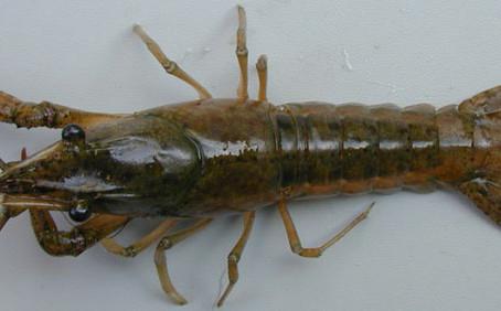 CRITTER SPOTLIGHT: White River Crayfish: Procambarus acutus