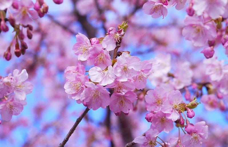 cherry-blossom-e1485856509786.jpg
