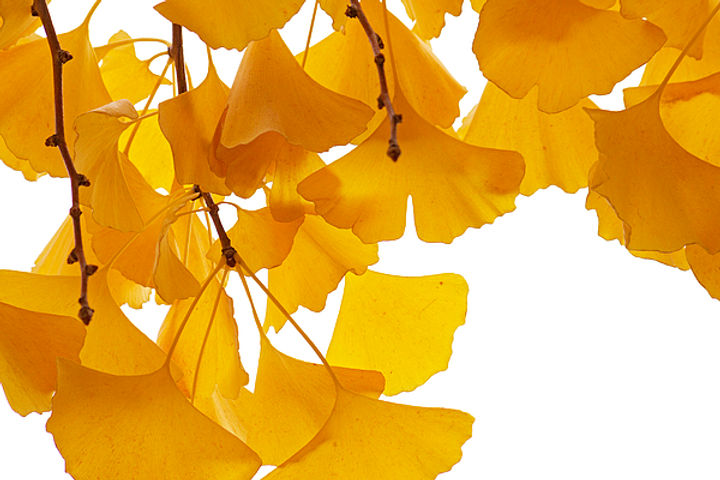 ginkgo-ginkgo-biloba-leaves-in-autumn-aa