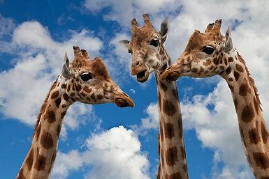 giraffes-627031_1280.jpg