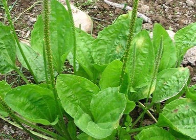 plantago_major_sinuata_01_p0_c457_edited