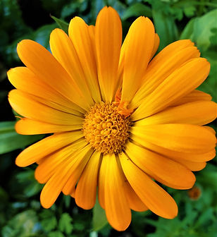 Calendula flower 2019_edited.jpg