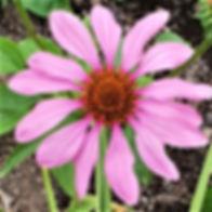 Echinacea flower - Copy.jpg