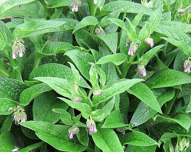Comfrey grown in Tamatea_edited.jpg