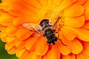 NZ honey bee.jpg