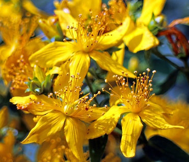 St Johns Wort_edited.jpg