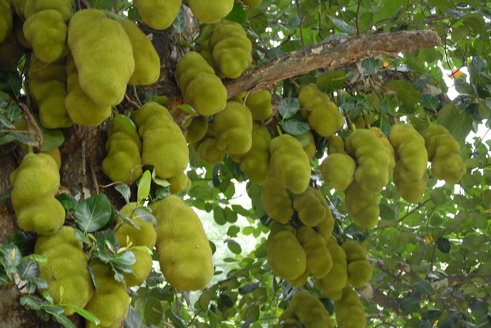 Jackfruit tree image courtesy of Nisha Menon