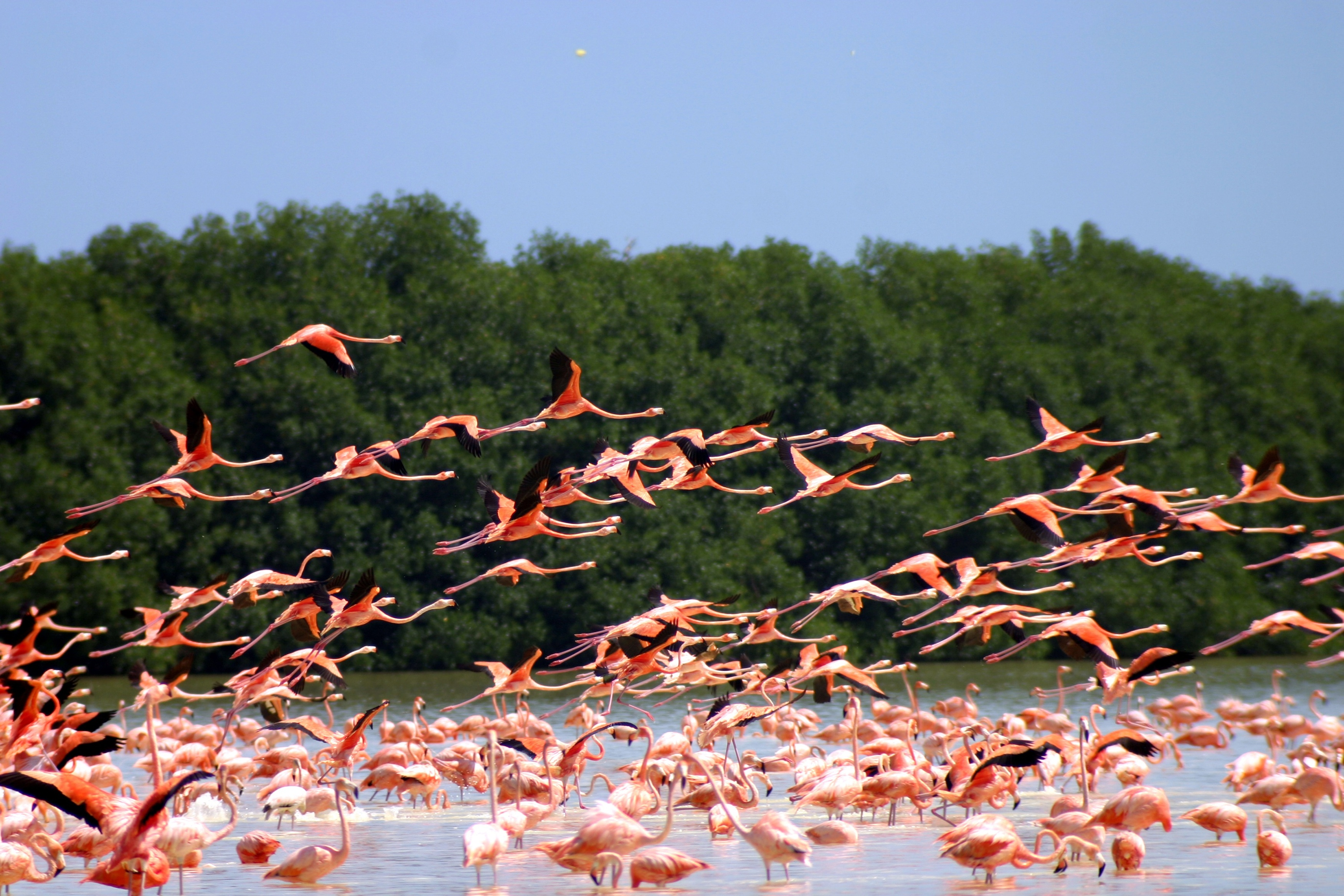 Flamingos at Sisal in the Lagoon