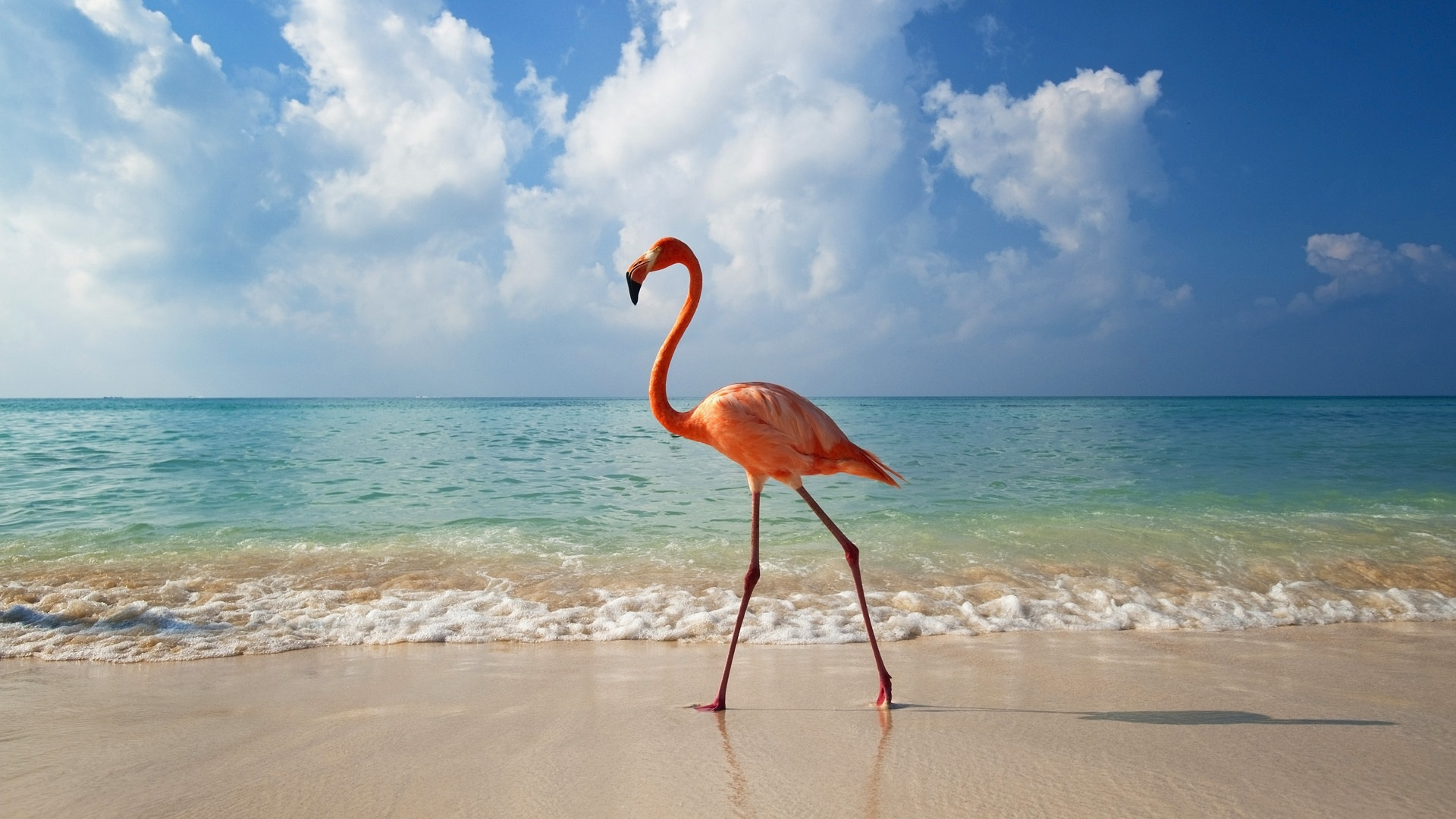 Flamingos walking down the Beach