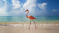 Flamingos walking down the Beach