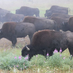 Wild buffalo, British Columbia, Canada