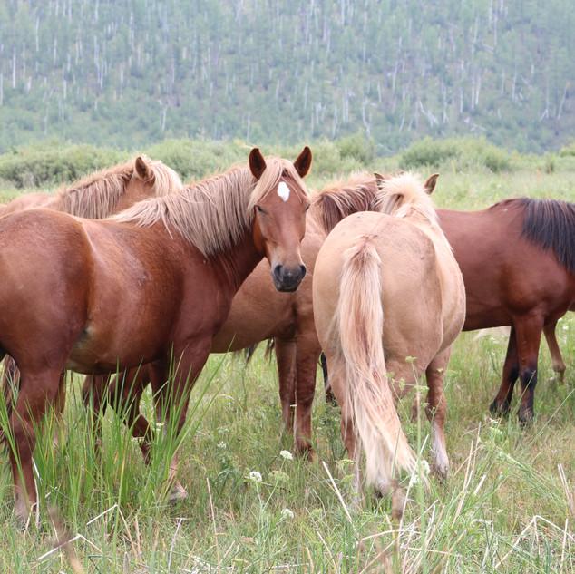 Horses in Mongolia