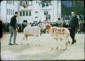 SHEEP FIGHT, ALGIERS