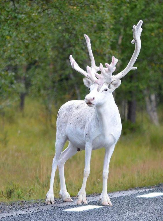Deer Muse