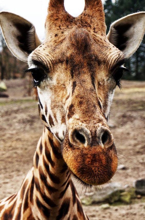 Giraffe Muse - Image by MappingMegan.com