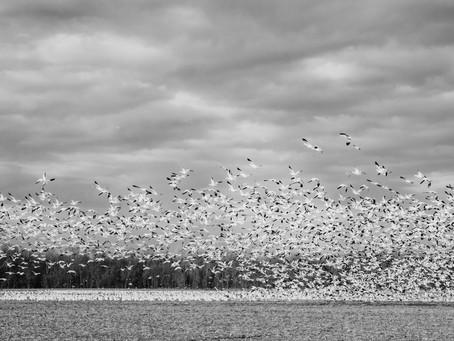 Snow Geese 2021