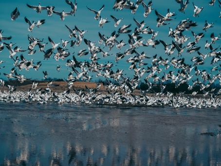 Snow Geese & Seagulls