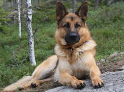 German shepherd images