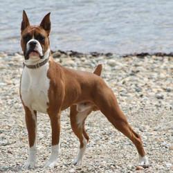 Boxer Dog04
