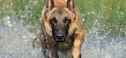 belgian-malinois-dog