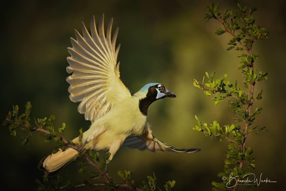 Green Jay Taking Flight