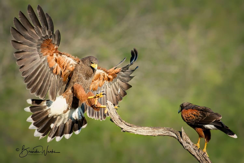 Male & Female Hawk
