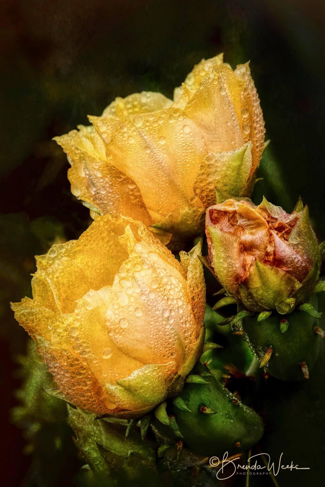 Cactus Blooms with Dew