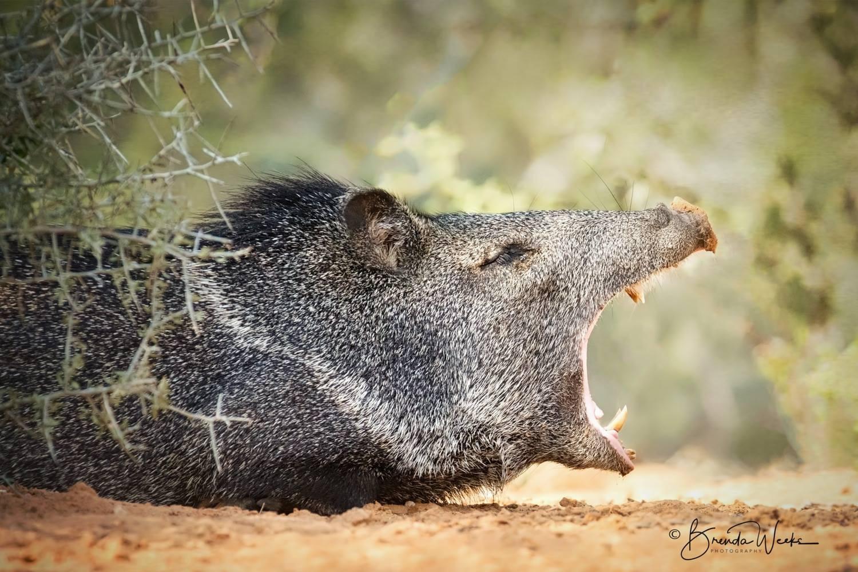 Yawning Javelina