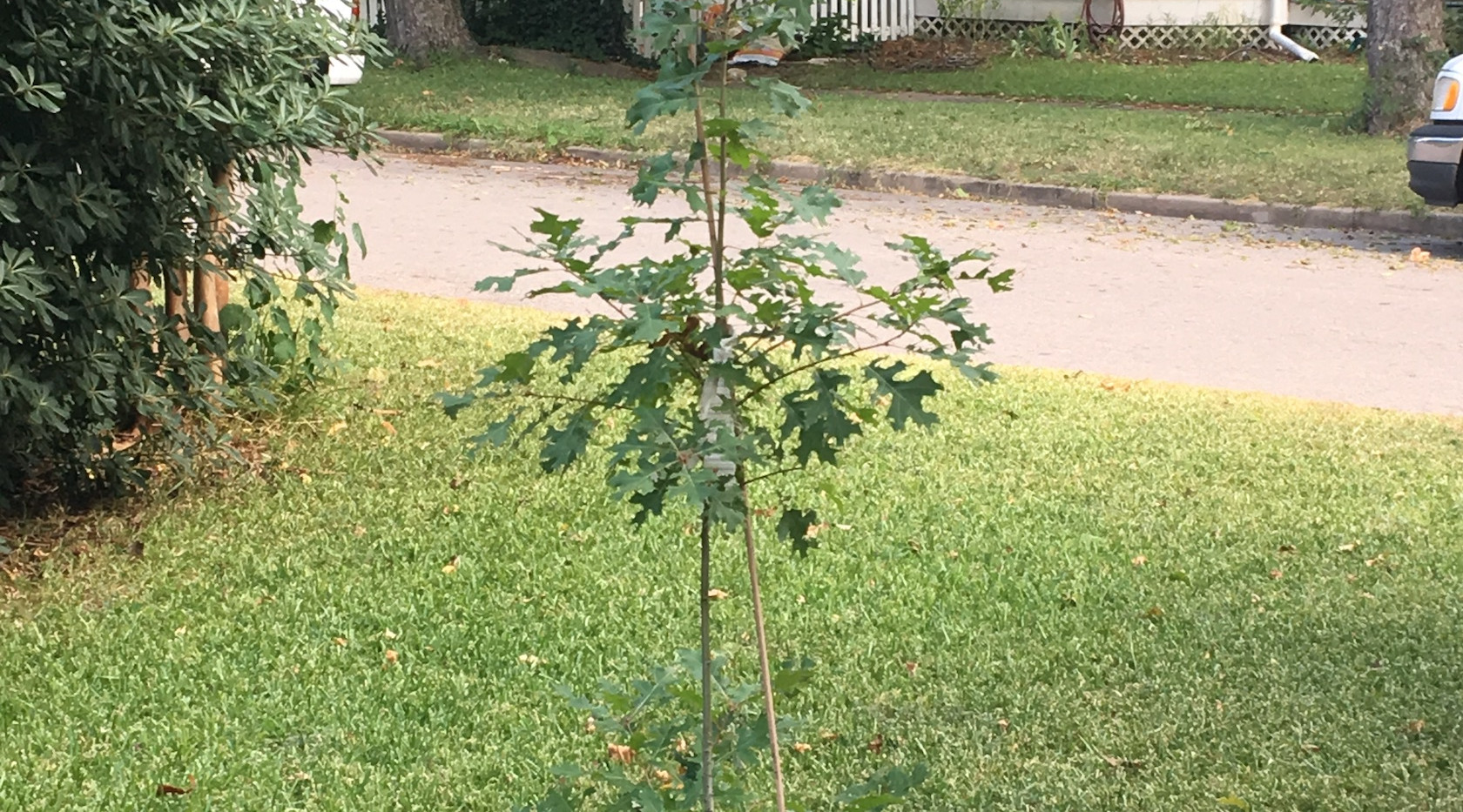 The littlest oak tree