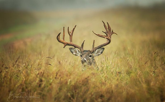 Big Buck II