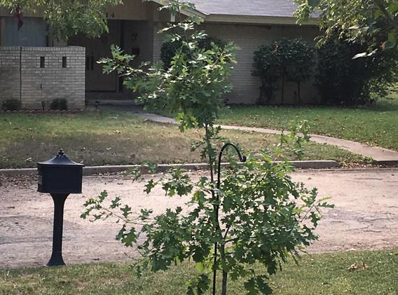 The bigger little oak tree
