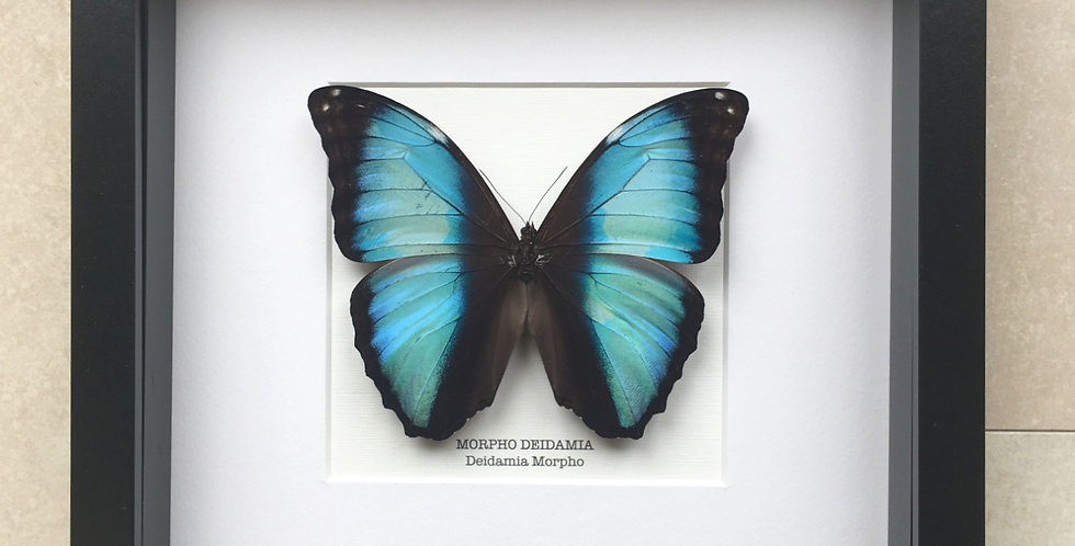 Deidamia Morpho Butterfly Frame