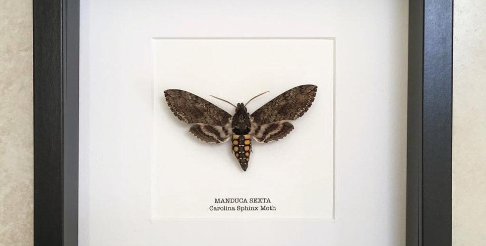 Carolina Sphinx Moth Frame