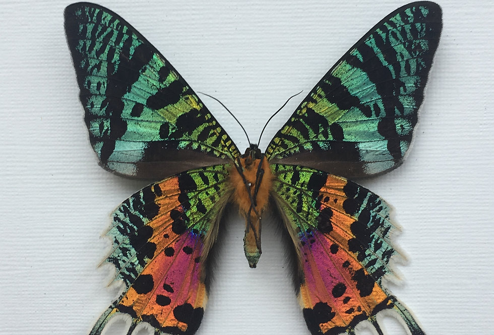 Madagascan Sunset Moth Frame