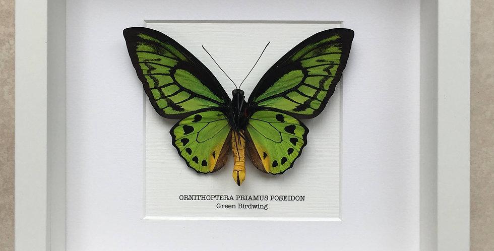 Green Birdwing Male Butterfly Frame