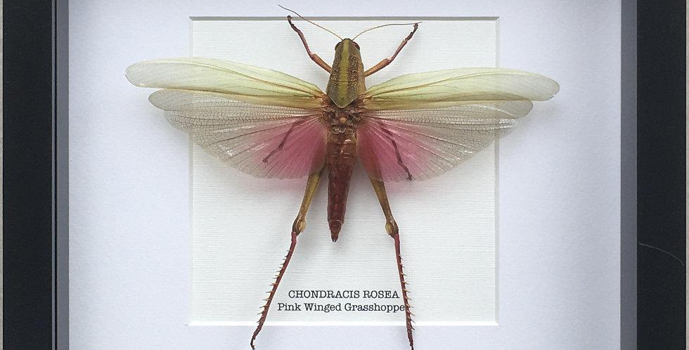 Pink Winged Grasshopper Frame