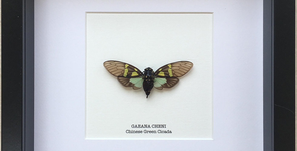 Chinese Green Cicada Frame