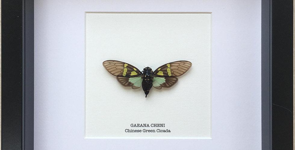 Chinese Green Cicada Frame