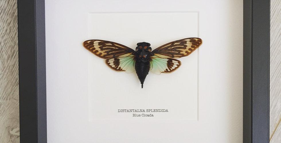 Blue Cicada Frame