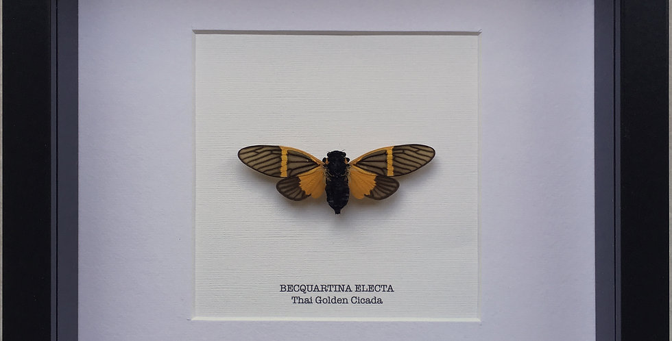 Thai Golden Cicada Frame