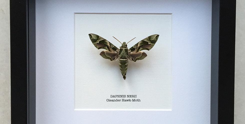 Oleander Hawk Moth Frame
