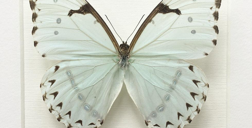 White Morpho Butterfly Frame