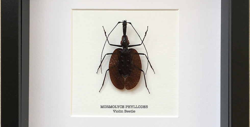 Violin Beetle Frame