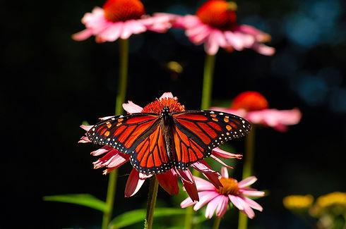 monarch_Species_at_Risk.JPG